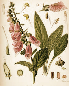 digitalis-botanical